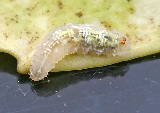Episyrphus balteatus - lifecycle A - 01 - larva