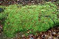 Epping Forest High Beach Essex England - bryophyta moss mound.jpg