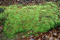 Epping Forest High Beach Essex England - bryophyta moss mound.jpg