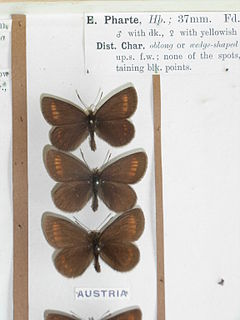 <i>Erebia pharte</i> species of insect
