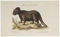 Erethizon dorsatum - 1700-1880 - Print - Iconographia Zoologica - Special Collections University of Amsterdam - UBA01 IZ20600015.tif