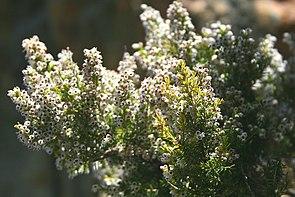 Baumheide, Habitus (Erica arborea)