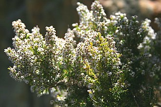 Erica arborea - Image: Erica arborea JPG2