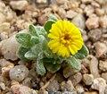 Eriophyllum wallacei 7.jpg
