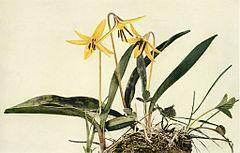 Erythronium americanum WFNY-015A.jpg