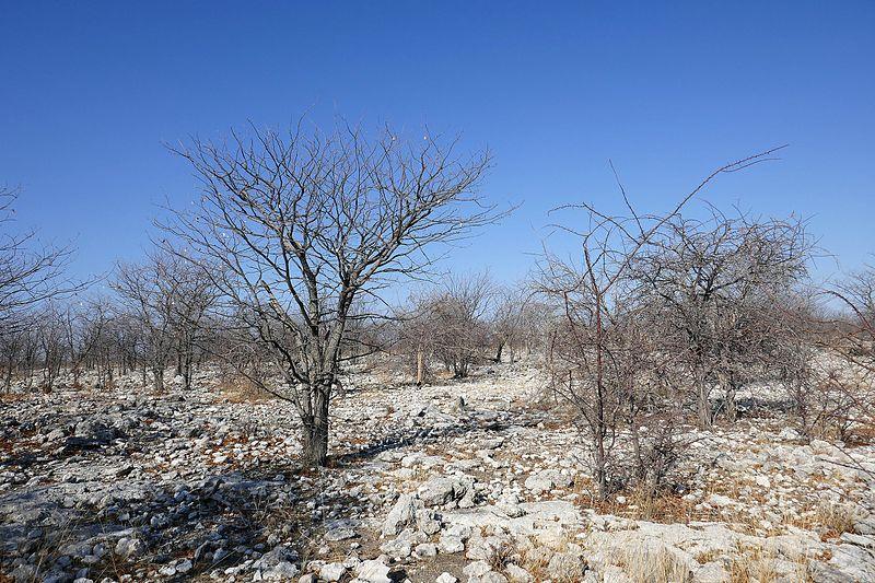 File:Etosha-Végétation en novembre (3).jpg