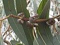 Eucalyptus bicostata Gum nuts IMG 0469 (2334881338).jpg