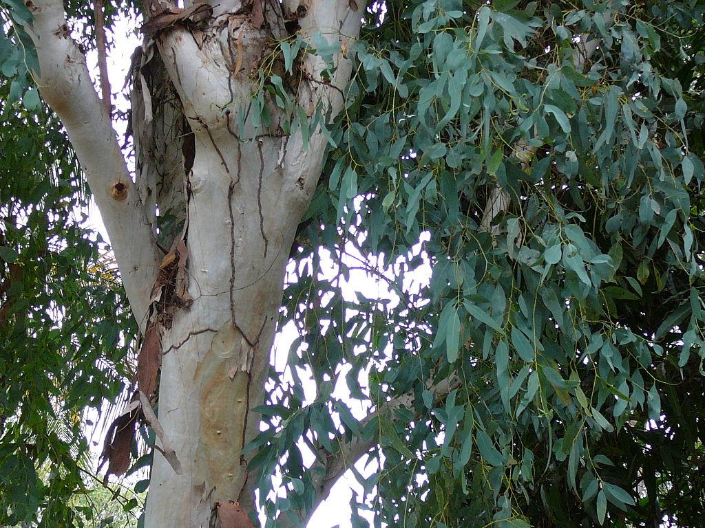 File:Eucalyptus Camaldulensis 0002.jpg