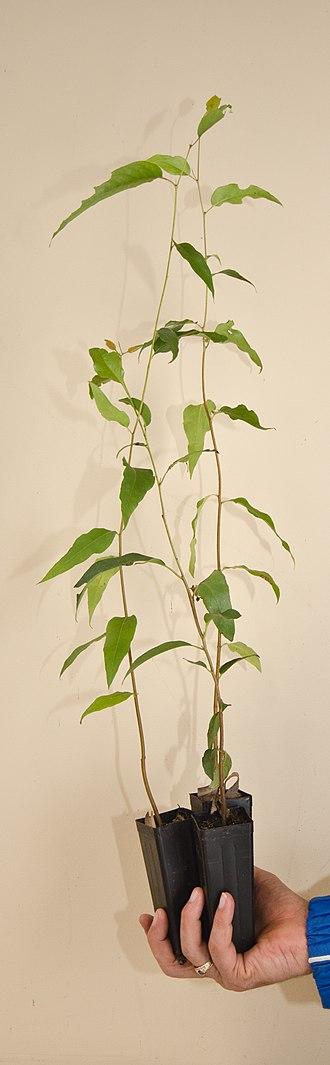 Eucalyptus regnans - Eucalyptus regnans seedlings