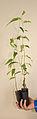 Eucalyptus regnans seedlings 01 Pengo.jpg