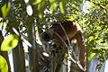 Eulemur macaco Lokobe 519.jpg