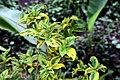 Euonymus fortunei 6zz.jpg