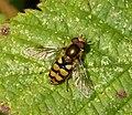 Eupeodes sp. ( maybe E. latifasciatus) (37762618882).jpg