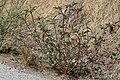 Euphorbia davidii, Jordan River, Utah.jpg