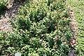 Euphorbia milii 19zz.jpg