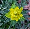 Euphorbia polymorpha, Christchurch Botanic Gardens, Canterbury, New Zealand 04.jpg