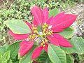 Euphorbia pulcherrim-bsi-yercaud-salem-India.JPG