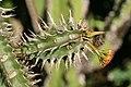 Euphorbia viguieri 3zz.jpg