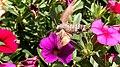 Eurasian Hummingbird Hawkmoth (Macroglossum stellatarum) 2.jpg