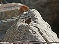 Eurasian Wren Troglodytes troglodytes neglectus, Gilgit (15834980550).jpg