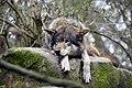 Europese wolf (13171343633).jpg