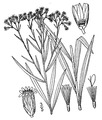 Euthamia graminifolia (L.) Nutt. Flat-top goldentop.tiff