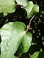 Excelsum subsp. excelsum PB220212.jpg