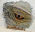 Eye of the iguana.jpg
