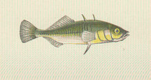 FMIB 47693 Three-Spined Stickleback.jpeg