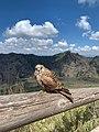 Falco naumanni 154137489.jpg