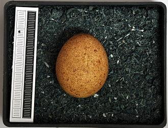 Lesser kestrel - Image: Falco naumanni MWNH 2023