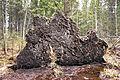 Fallen tree bottom.jpg