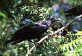 Fan-tailed raven.jpg