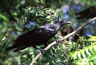 Raven - Fan-tailed raven
