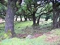 Fanal forest, Madeira - 2005.jpg