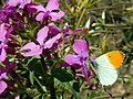 Farfalla Anthocharis cardamines su fiore di Lunaria.jpg
