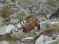 Fauna als Tatres (agost 2012) - panoramio.jpg