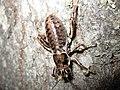 Female Cyphoderris buckelli 01.jpg