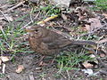 Female blackbird ostrava.jpeg