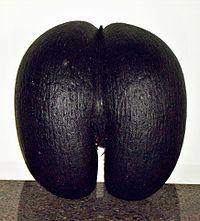 The massive fruit of the coco de mer.