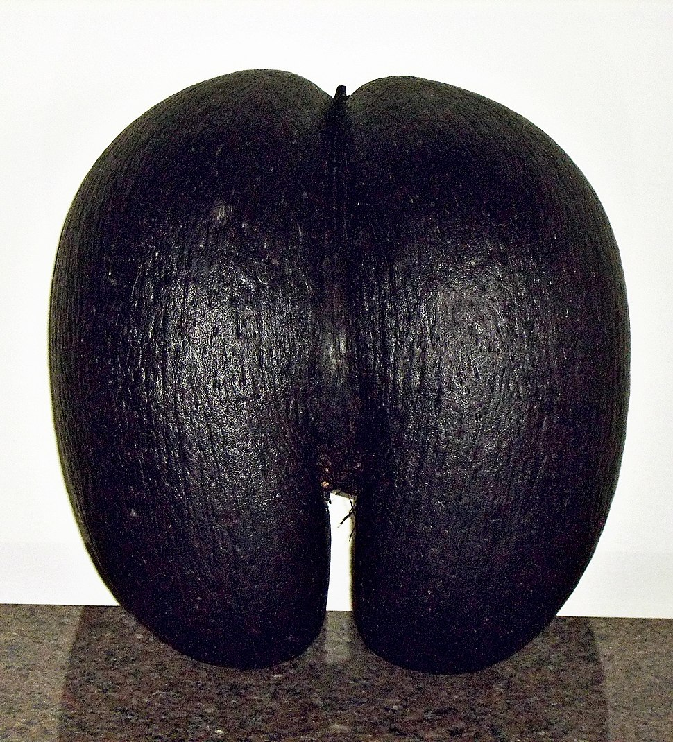Female coco de mer seed