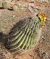 Ferocactus wislizeni (Fishhook Barrel Cactus) 1.jpg