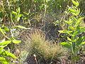 Festuca idahoensis (3751282870).jpg