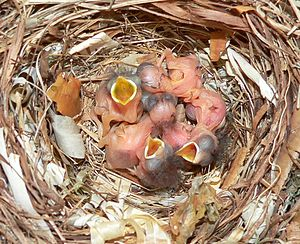 Avian clutch size - Pied Flycatcher chicks in Finland.