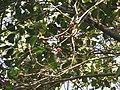 Ficus benghalensis leaves and fruits at Peravoor (3).jpg