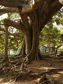 Ficus benjamina C.jpg