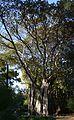 Ficus del jardí d'Aiora.JPG