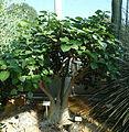 Ficus palmeri (Ficus petiolaris subsp. palmeri) - Bergianska trädgården - Stockholm, Sweden - DSC00468.JPG