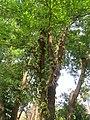 Ficus racemosa fruits at Makutta (13).jpg