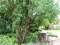 Ficus salicifolia, habitus, Universiteit van Pretoria.jpg